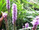 James Hyde Gardening - Liatris Spicata - Click to enlarge